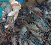 Gobierno evalúa cómo restablecer pesca de arrastre de camarón, sin tener información clara